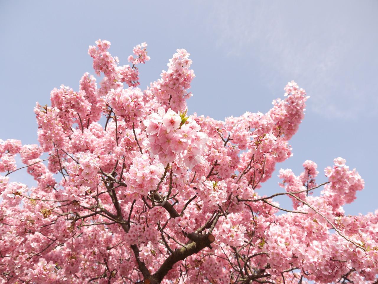 Рисунок пастелью «Сакура цветет»